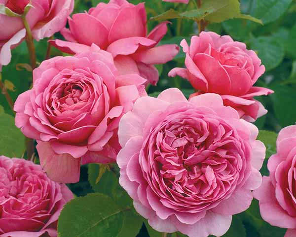 Hoa hồng Thái Lan