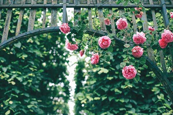 Hoa hồng leo Thái Lan