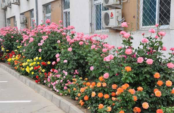 Hoa hồng bụi Thái Lan